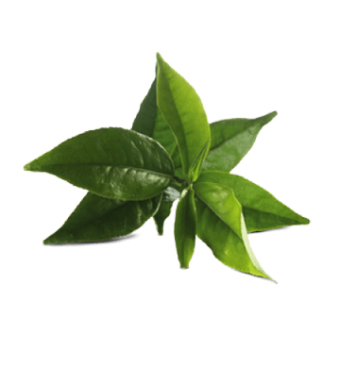 zelený-čaj